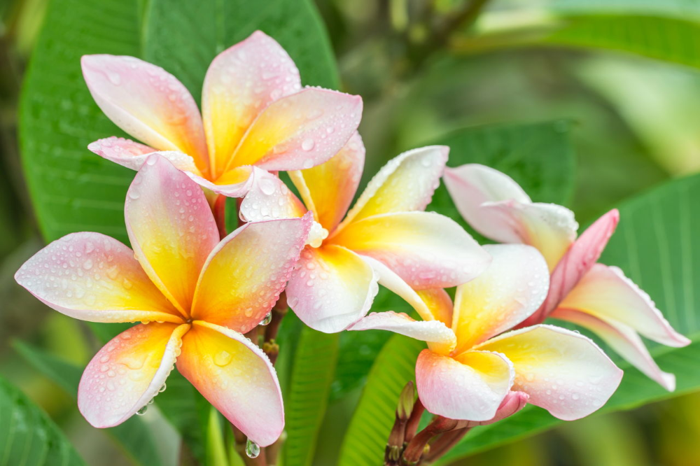 Pin On Plumeria Flowers