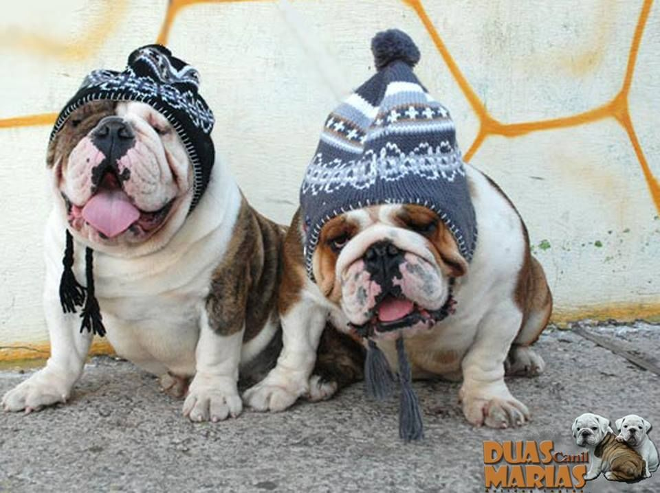 Ready For Winter Bulldog Puppies Cute Animals Cute Animal