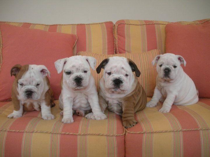 Pancake and the gang ) Bulldog, English bulldog