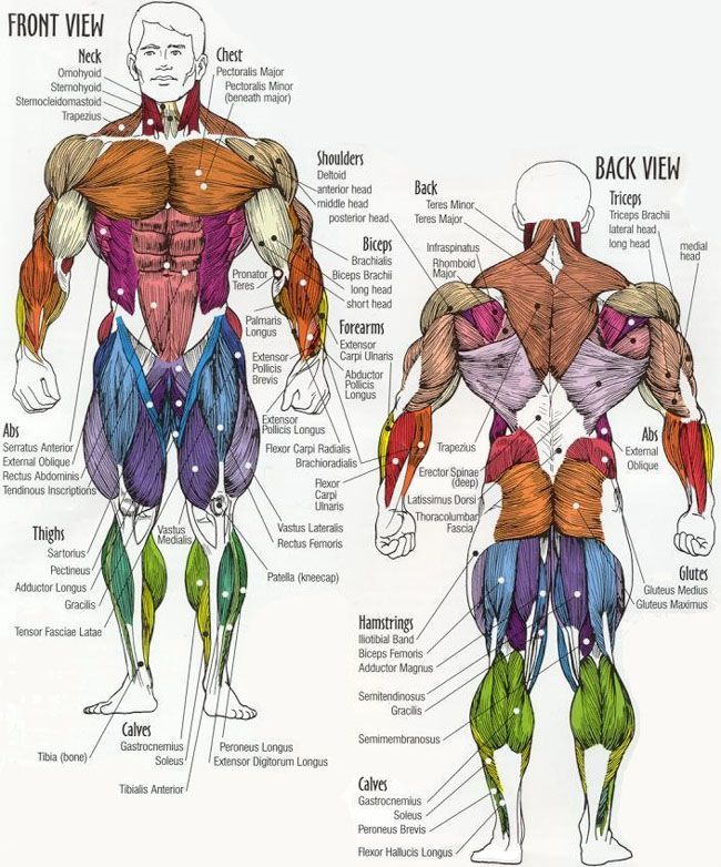 muscle group chart with a list of what exercise you need to do to Clear Human Body Diagram muscle group chart with a list of what exercise you need to do to work each group