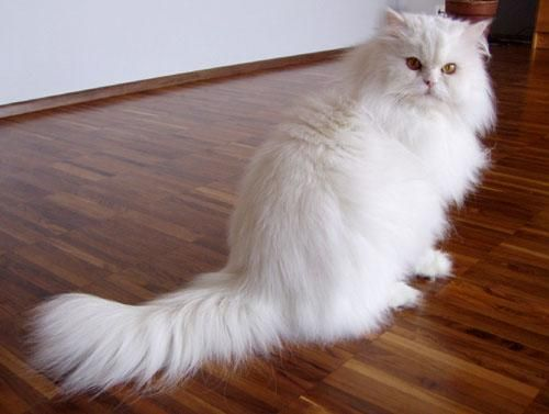 Beautiful White Persian Cat Similar To Our Cat Named Rider He