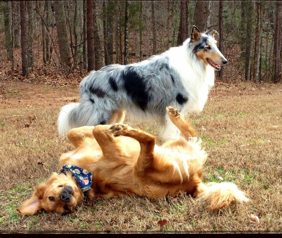 Beauty And The Beast Rough Collie And Golden Retriever Rough