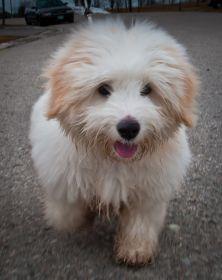 Coton de Tuléar Puppy