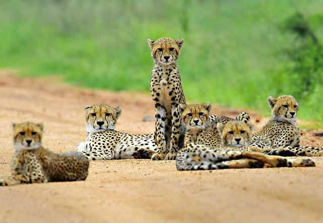 Cheetahs With Photos Cheetah Mother With Five Cubs Kruger National Park Nikon D300 With South African Animals Wild Cats Animals