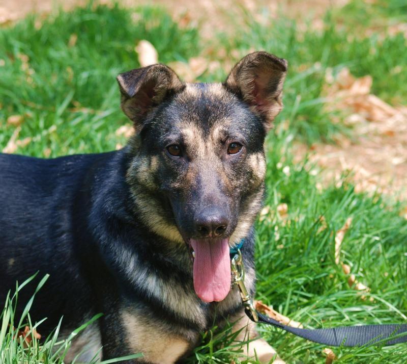 Adopt Miya on German shepherd dogs, Shepherd dog, Dogs