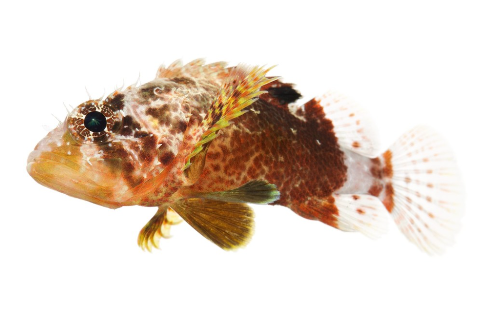 Reef Scorpionfish from 16.78709216 -88.07539969000000 on November 29, 2012 at 06:17 PM by liittschwager. Specimen #: BBEL_0086, Collection Event #: BLIZ_005, Common Name: Reef scorpionfish, Scientific N... · iNaturalist