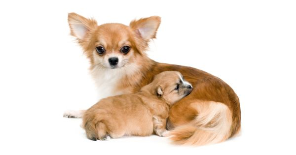 Puppy Shots Pregnant Dog Chihuahua Dogs Pets