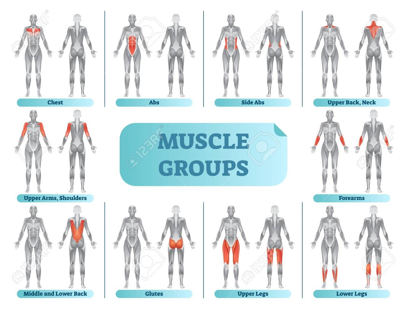 Female muscle groups anatomical fitness vector illustration, sports training informative chart. ,