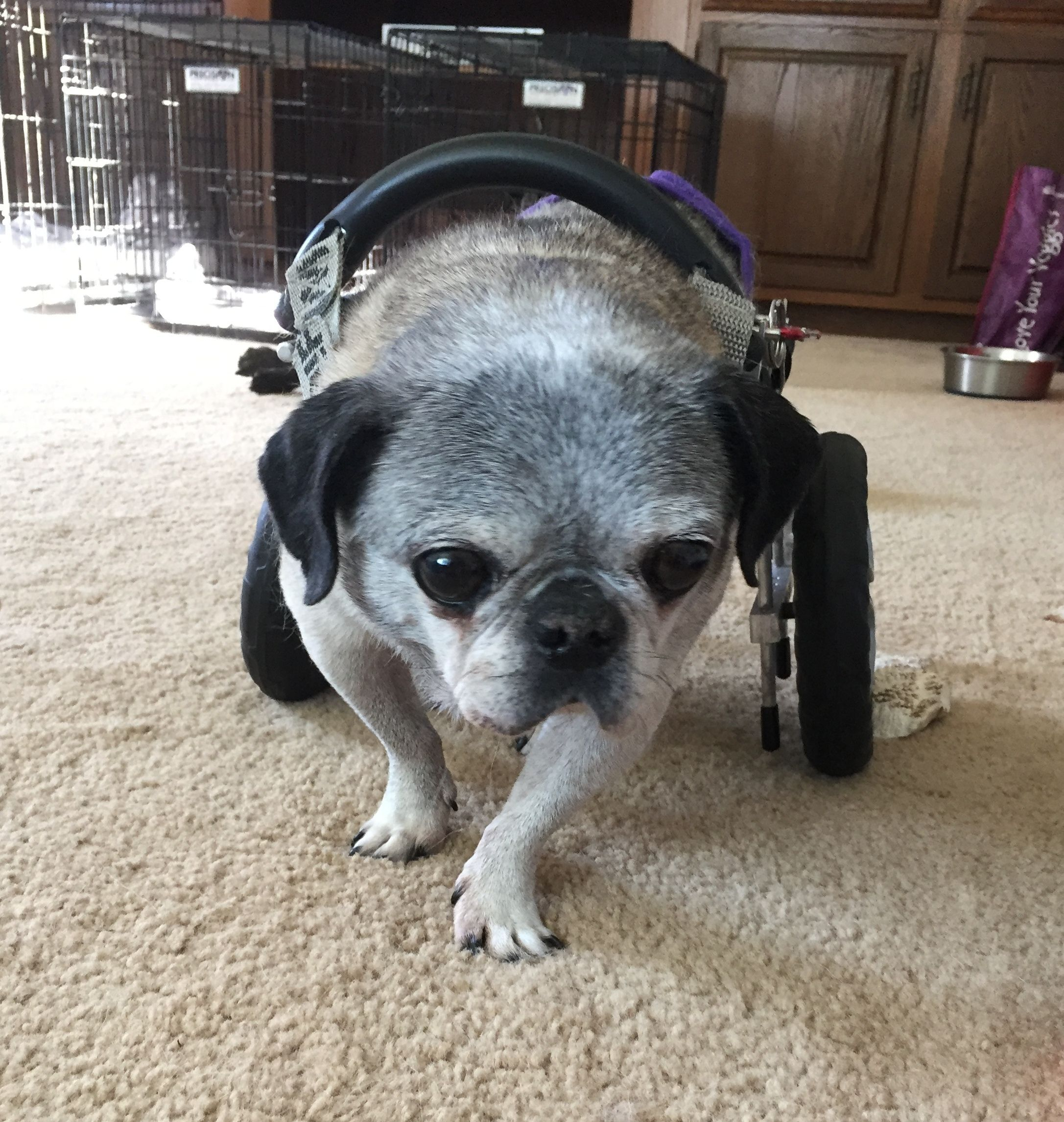 Adopt Tiger Lily On Dog Stroller Pug Puppies Foster Dog