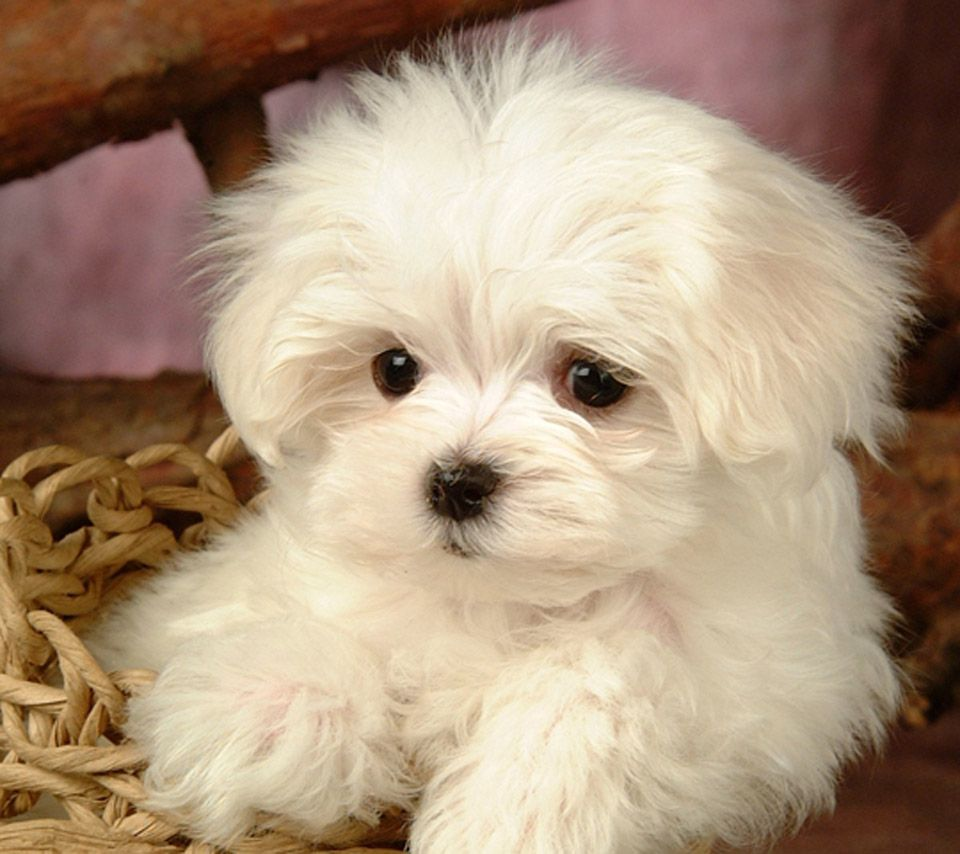 Maltese Maltese Terrier Dog Puppy Pictures And Wallpapers New