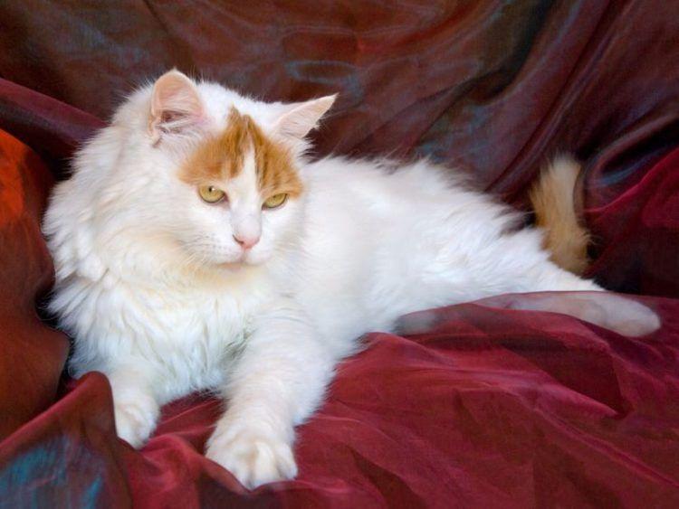 20 Most Popular Long Haired Cat Breeds Turkish Van Cats Angora