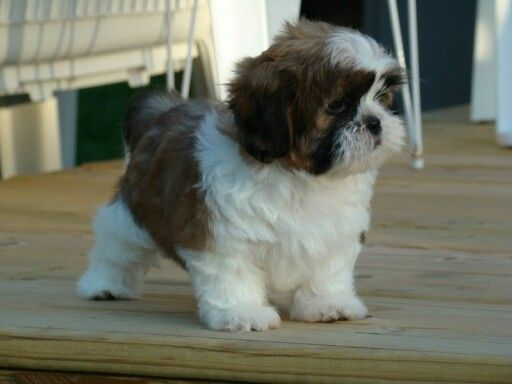 This Is What My Dog Oreo Looks Like He Is A Shih Tzu He Is Black And White This One Black Brown And White They Are Ado Shih Tzu Puppy Shih