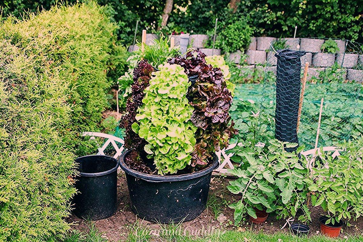 Gemüse Im Garten Pflanzen