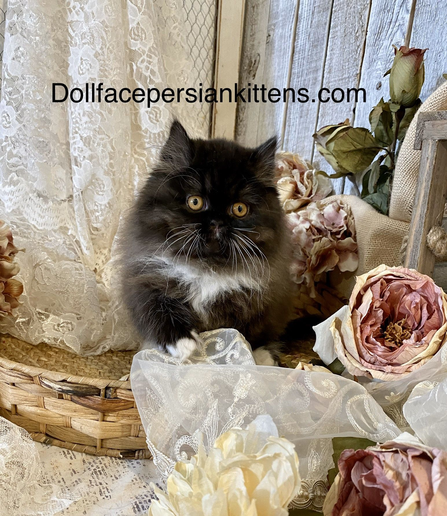 Pin by Doll Face Persian Kittens ww on Blue and White
