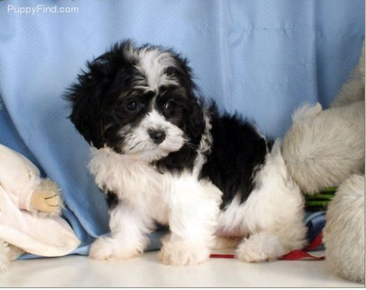 Black And White Shichon Shitzu Puppies Lhasa Apso Puppies Cute Puppies