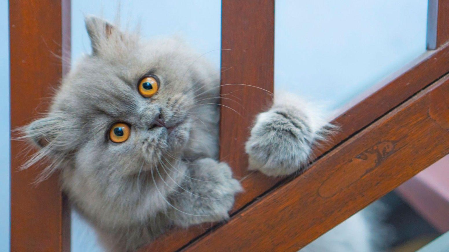 12 Best Persian Cat Blue Eyes Price Wallpaper In 2020 Orange Persian Cat Persian Cat Purebred Cats