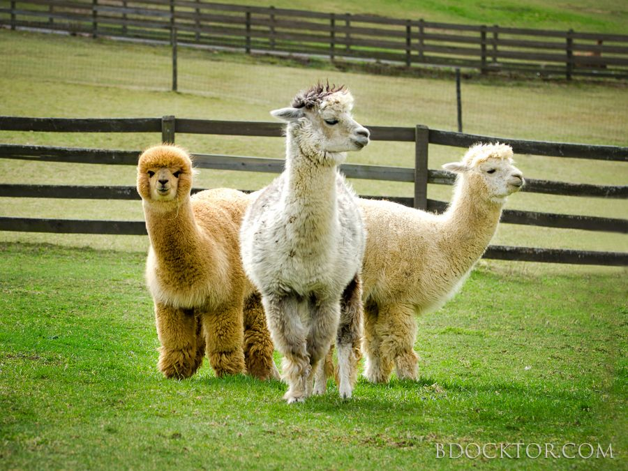 alpacas at the farm Pet photographer, Alpaca farm, Baby