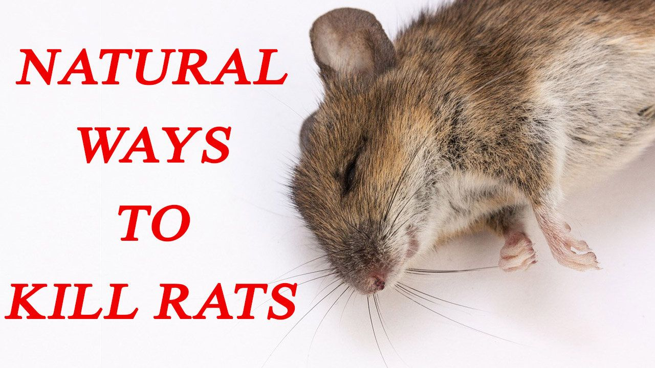 how to trap a rat without killing it