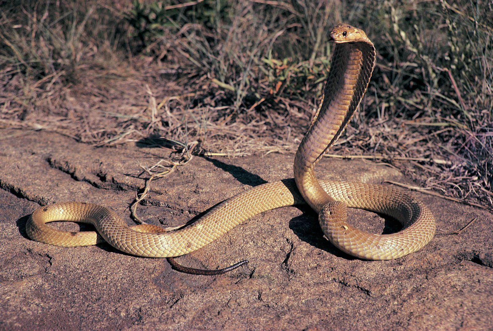 King Cobra. The largest venomous snake on earth.  This is a 9 footer.  They grow in excess of 20ft long.