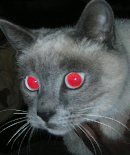 redeyes siamese cat Siamese cats, Cats, Siamese