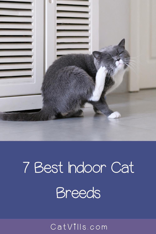 Best Indoor Cats 7 Breed Who Thrive In Apartments Catvills Indoor Cat Cats Cat Breeds