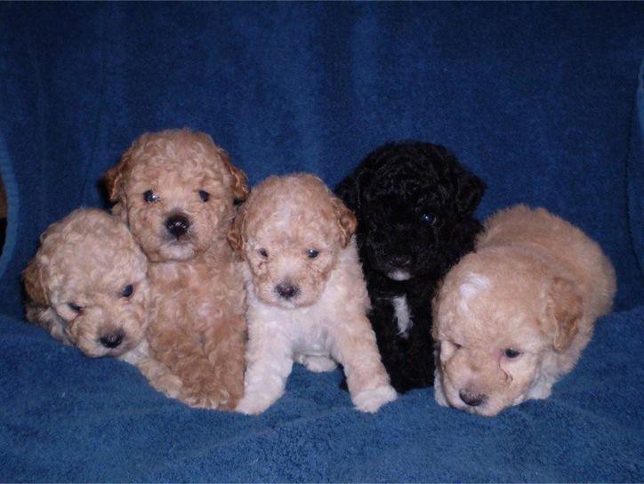 Poodle Puppies Litter Miniature Poodle Puppy