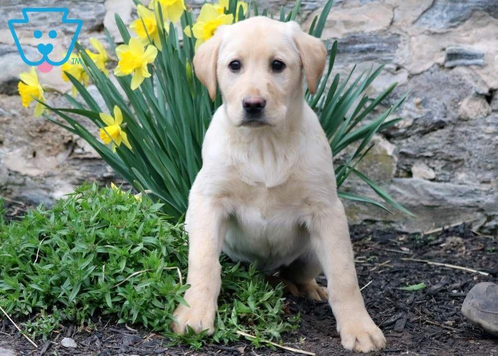 Checkers Labrador Retriever Labrador Puppies