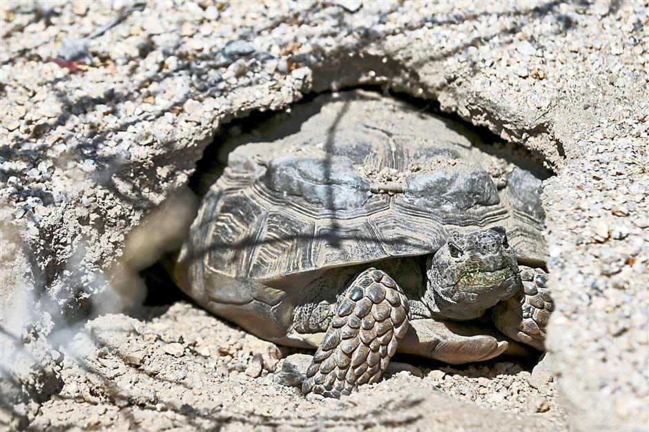 Desert tortoises in Southern California may go extinct as