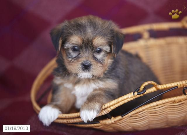 Amy Shorkie Puppy For Sale In Christiana Pa Shorkie Puppy