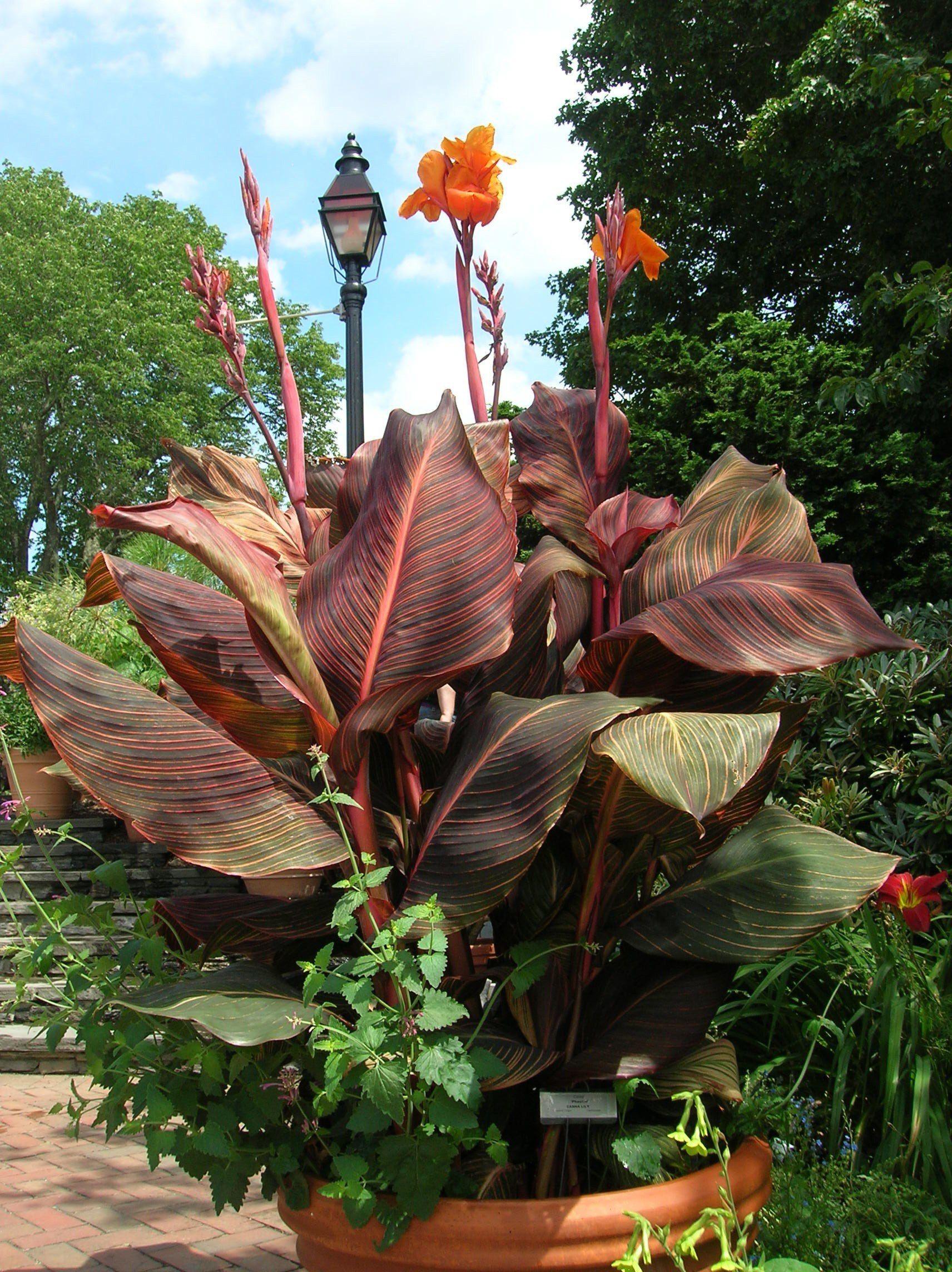 How To Grow Canna Lilies Canna Bulbs Canna Lily Growing Bulbs