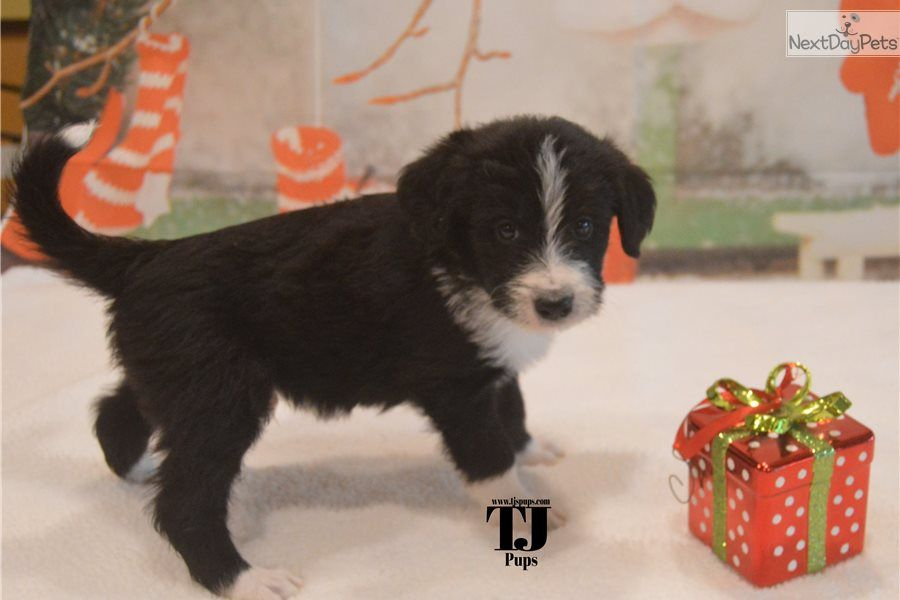 F1b 1 000 Bernedoodle Puppy For Sale Near Dallas Fort Worth