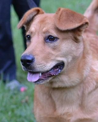 Goldie is an adoptable Golden Retriever, Labrador Retriever Dog in White Plains, NY To adopt please fill out an adoption  http://www.happydogrescue.org/Application595.htmlGoldie ... ...Read more about me on @petfinder.com
