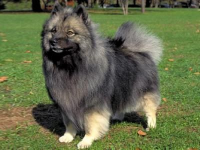 Keeshond And Cats The Keeshond (K...