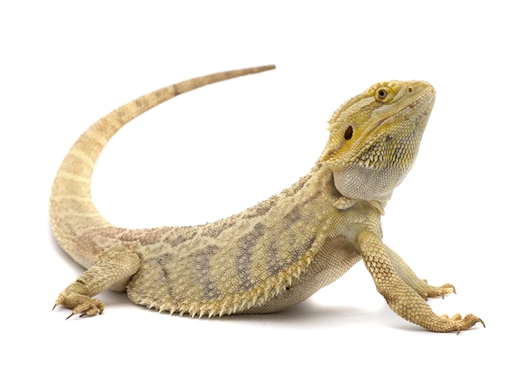 Bearded Dragons May Be Relatively New To The Shores Of America But They Sure Are Cool Here Are 10 Bearded Dragon Facts Bearded Dragon Reptiles Facts Reptiles