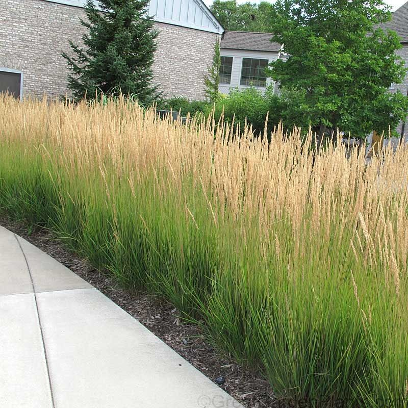 Karl Foerster Feather Reed Grass Makes The Perfect Long Blooming