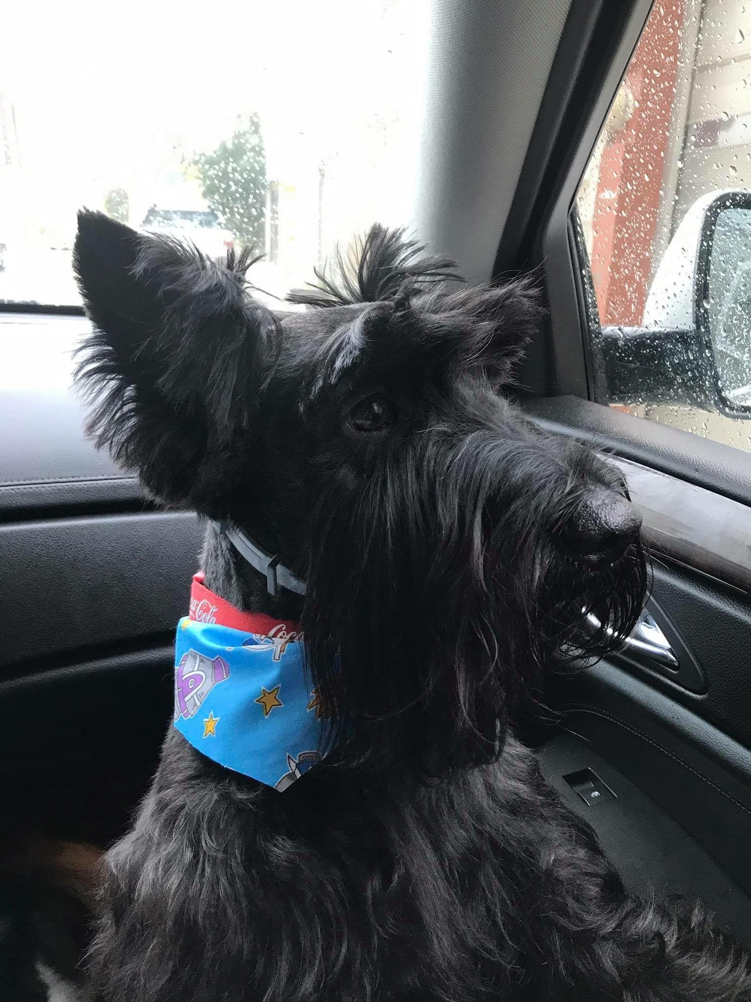 Pantu, scottish terrier, ready for a walk!