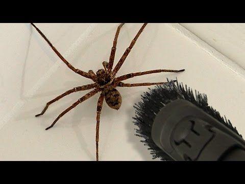 Big Spider Bathroom Daddy Screamer Arachnophobia Warning  Youtube Mesmerizing Small Jumping Bugs In Bathroom Inspiration Design