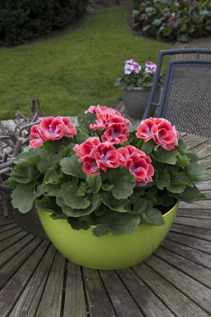 franse geranium edelgeranie regal pelargonium. Black Bedroom Furniture Sets. Home Design Ideas