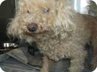 Douglasville, GA - Poodle (Standard) Mix. Meet Donald a Dog for Adoption.