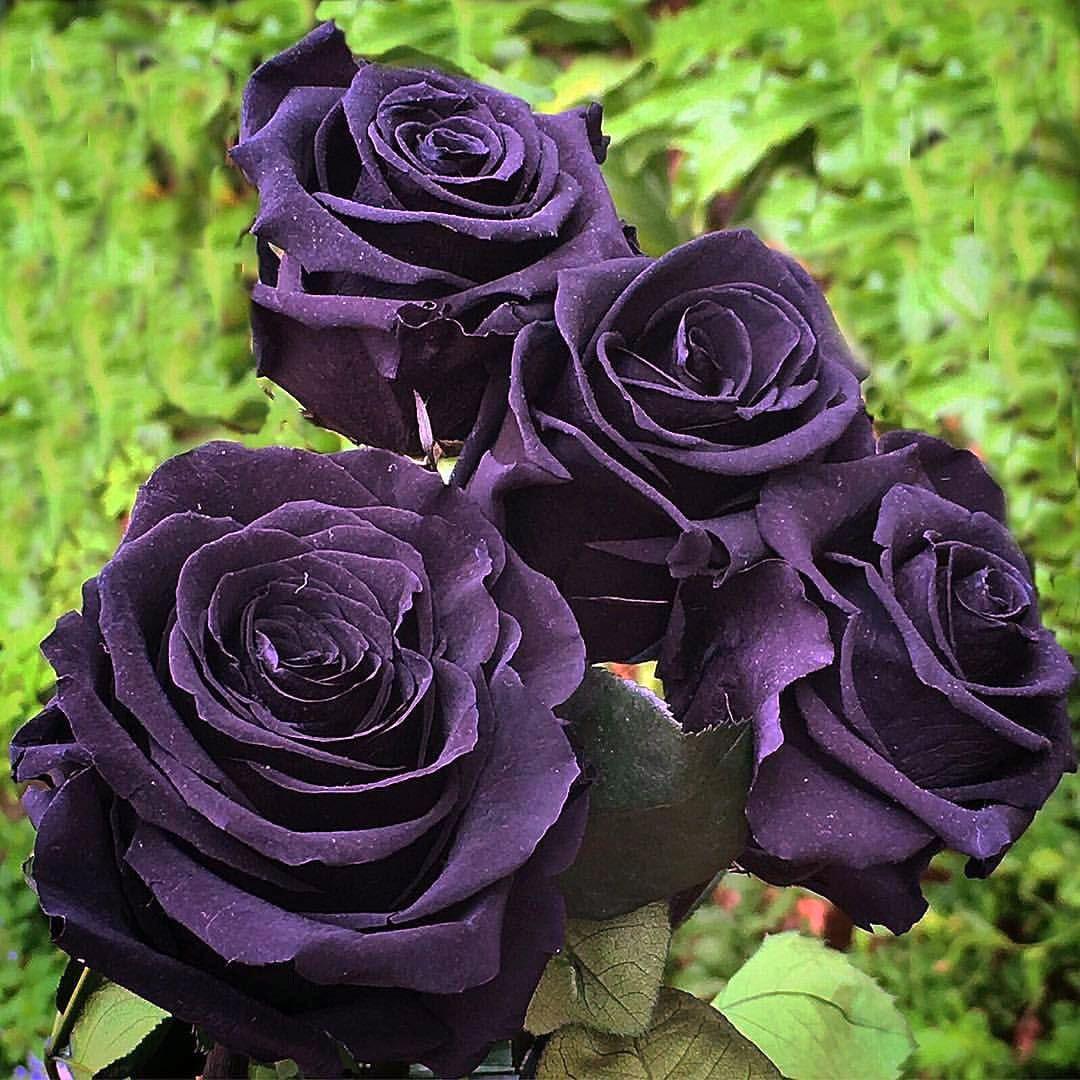 Роза черная картинки