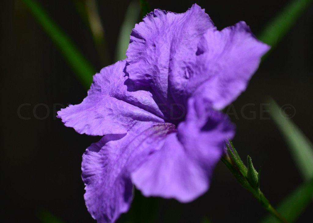 Mexican petunia petunias flowers plants