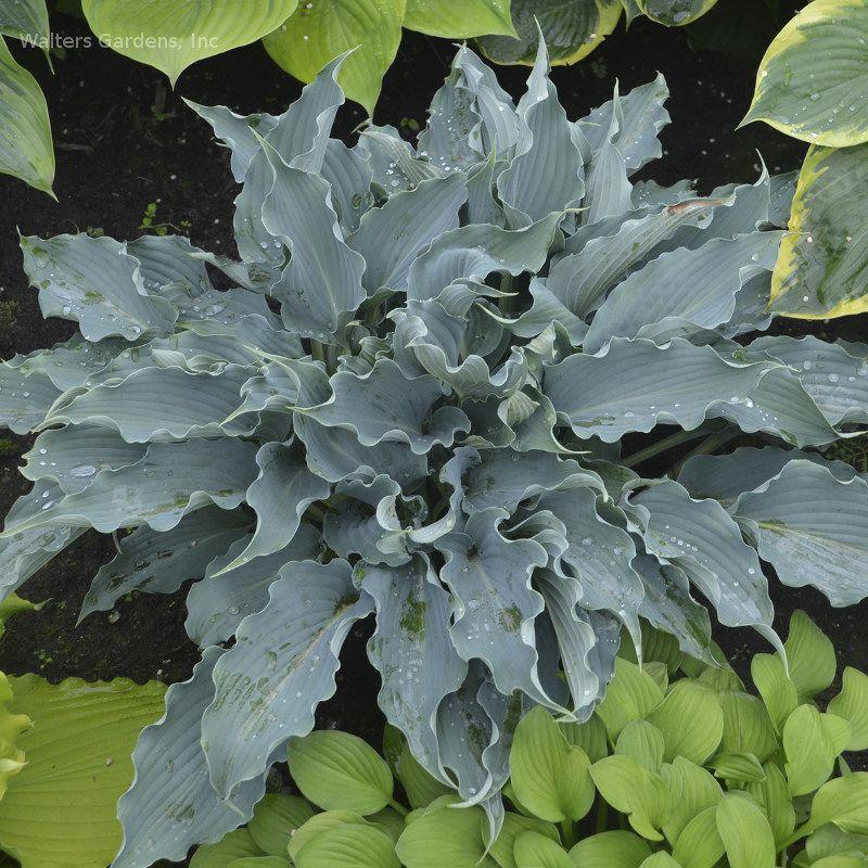 Hosta Waterslide New For 2017 Hosta Gardens Garden Shrubs Shade Perennials