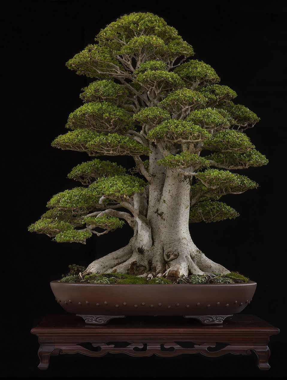 "Neea buxifolia Easy to Grow 4/"" Pot Nia Bonsai Starter Tree"