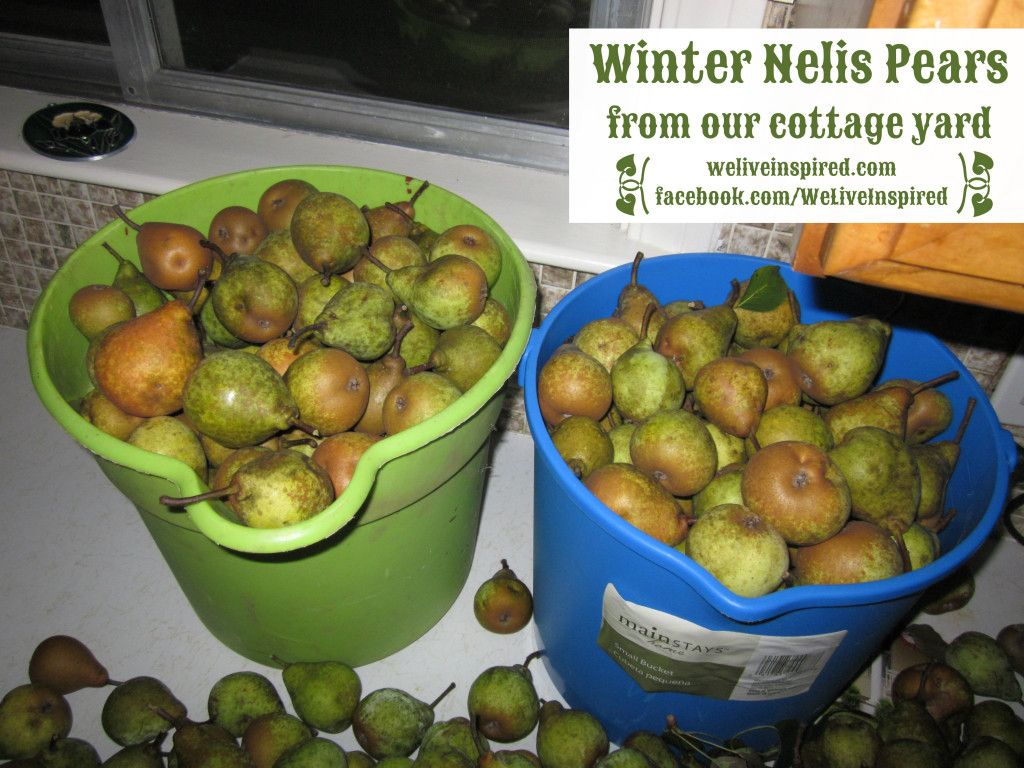 Harvesting Pears And Storing Pears Plus Identifying Pear Variety Pear Varieties Pear How To Store Apples