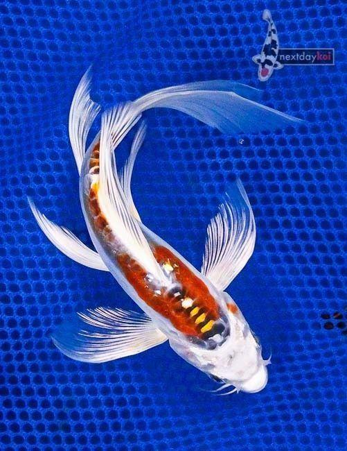 Doitsu kujaku butterfly fin koi favorite fishes for Carpa koi butterfly
