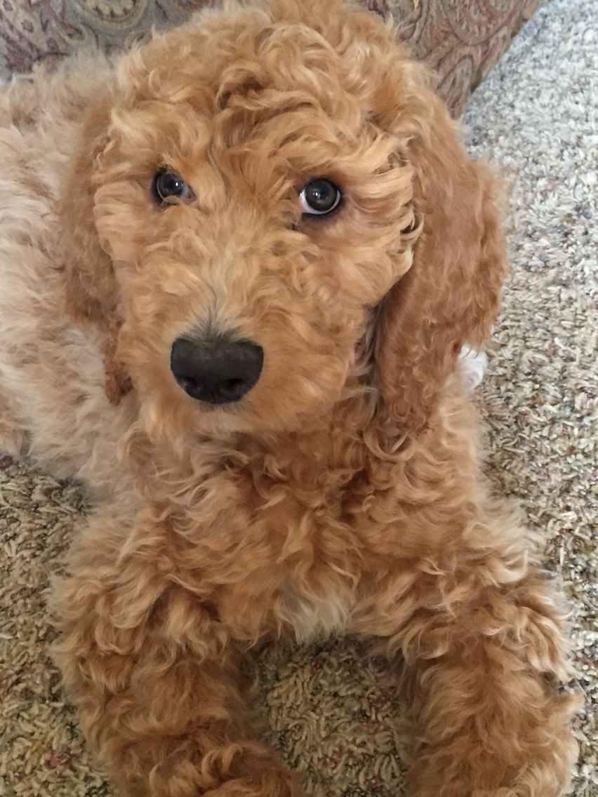 Oakley the apricot goldendoodle. (With images