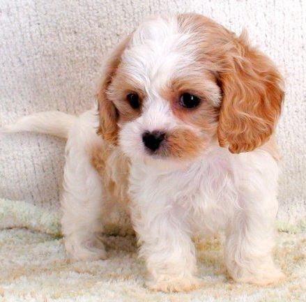 More Cavachon Puppy Owner Reviews Foxglove Farm