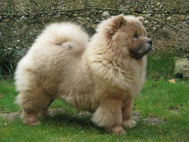 This Sweet Chow Chow Looks Just Like My Darling Chula Francesca