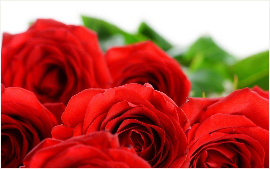 Rose Diseases Red Flowers Wallpaper