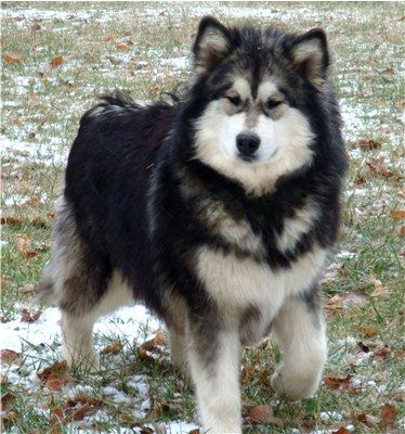 Siberian Husky Malamute Mix Photo Giant Alaskan Malamute